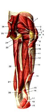 На самом деле, глубокие мышцы бедра