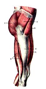 Мышцы правой нижней конечности