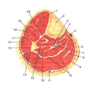 Мышцы и фасции голени
