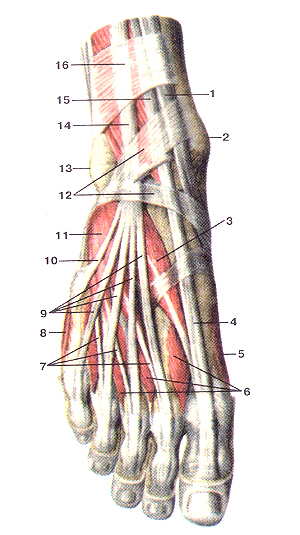 Мышцы тыльной стороны стопы