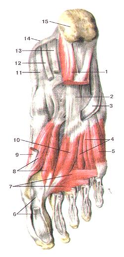 Взаправду глубокие мышцы подошвенной стороны стопы