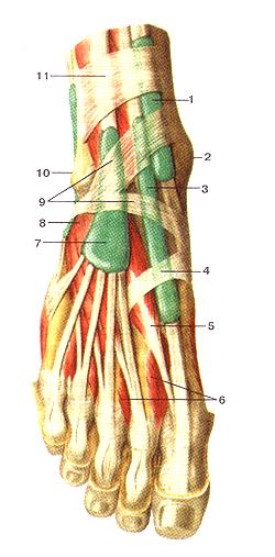 Синовиальные влагалища сухожилий пальцев стопы