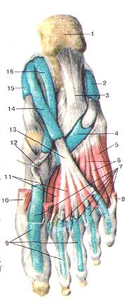 Синовиальные влагалища сухожилий
