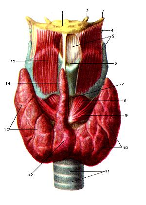 Гортань, щитовидная железа