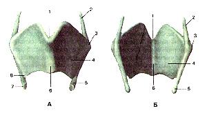 Необыкновенно щитовидный хрящ