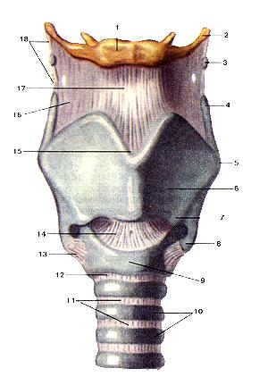 Суставы и связки гортани