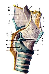 Эластический конус,  четырехугольная мембрана  гортани