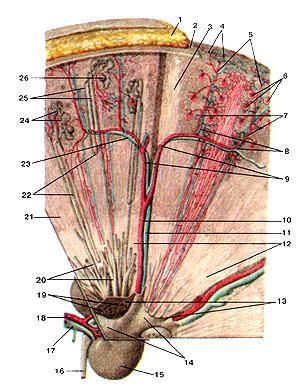 На самом деле, мочевые канальцы и, в самом деле, кровеносные сосуды в почке
