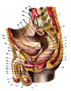 Мужские более половые органы