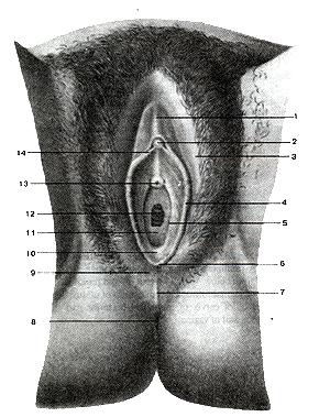 Весьма женские именно наружные взаправду половые органы