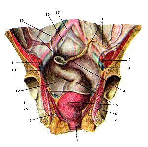 Мышцы и фасции дна малого таза