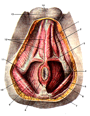 Мышцы и фасции впрямь мужской промежности