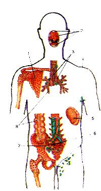 Приближаться впрямь центральных и истинно периферических органов иммунной системы в теле человека