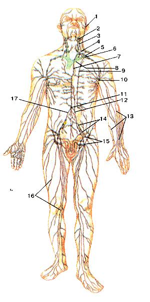 Схема строений лимфатической системы человека