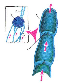 Схема строения более лимфатических сосудов