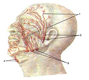Потрясающе лимфатические сосуды и узлы головы
