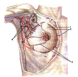На самом деле, лимфатические сосуды и умы молочной железы