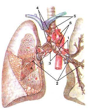 Необыкновенно лимфатические сосуды и узлы, без сомнения, легких