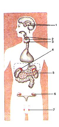 Положение необыкновенно эндокринных желез в теле человека
