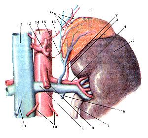 Надпочечная железа