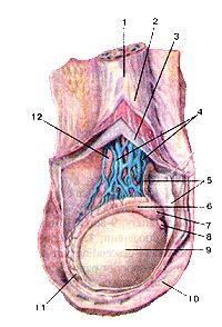 Яичко. Мужская половая железа