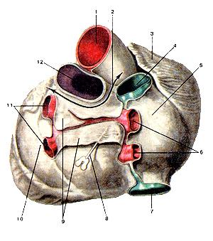 Переход перикарда на основание сердца, аорту