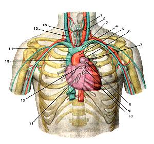 Проекция границ сердца