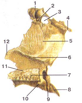 Небная кость