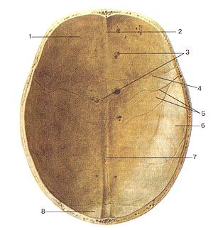 Крыша (свод) черепа