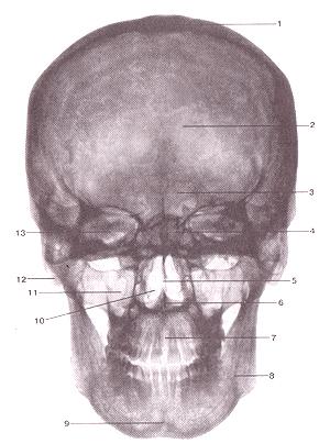 Рентгеновская картина черепа взрослого человека