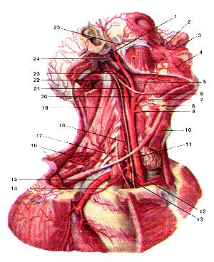Общая сонная и подключичная  артерии