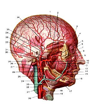Сильно глубокие артерии головы