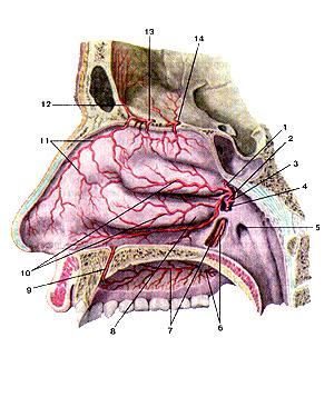Артерии латеральной стенки полости носа