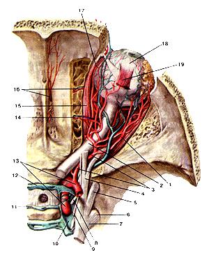 Артерии и вены глазницы