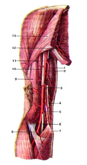 Артерии плеча
