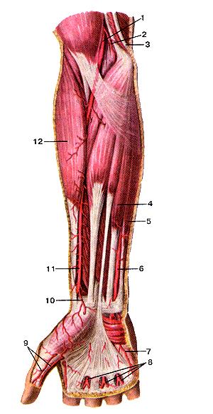 Удивительно поверхностные артерии предплечья и кисти