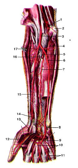 Удивительно глубокие артерии предплечья и кисти