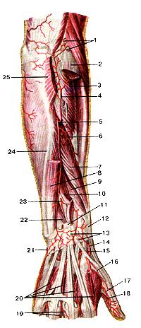 Артерии предплечья и кисти
