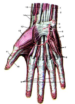 Неимоверно поверхностные артерии кисти