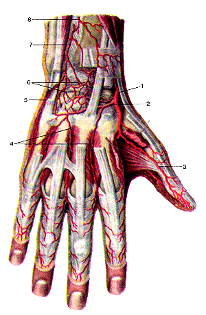 Артерии кисти