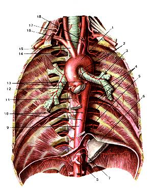 Грудная часть аорты