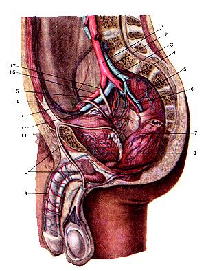 Подвздошные артерии