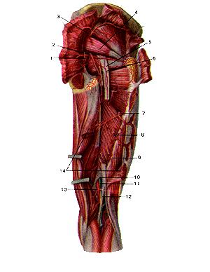 Артерии ягодичной области и задней стороны бедра