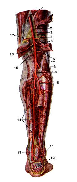 Подколенная артерия