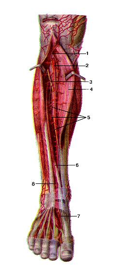 Передняя большеберцовая артерия