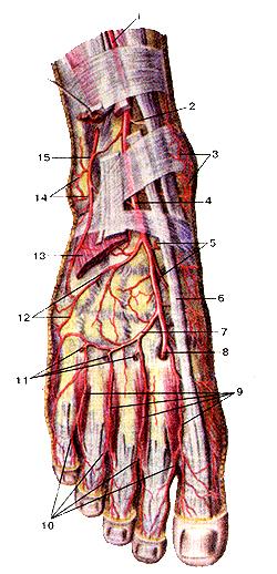 Артерии тыла стопы