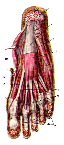 Несказанно поверхностные артерии подошвенной стороны стопы
