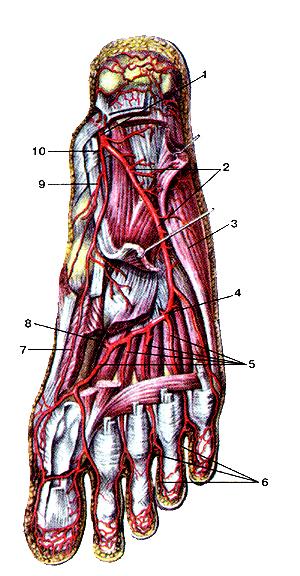 Удивительно глубокие артерии подошвенной стороны стопы