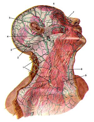Необыкновенно поверхностные пены головы и шеи