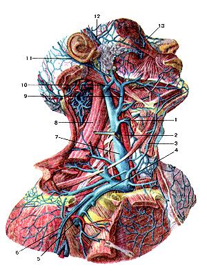 Истинно глубокие вены шеи